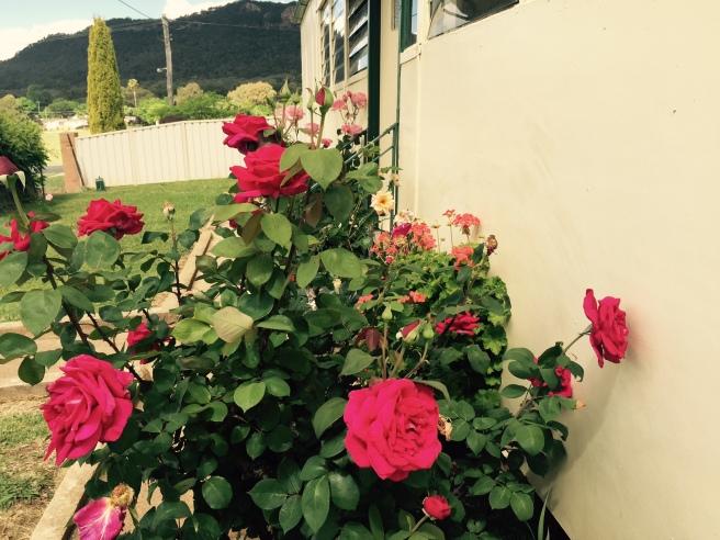 Roses in kandos